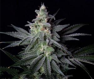 cannabis_resina